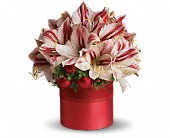 Teleflora's Peppermint Amaryllis in Toronto ON, LEASIDE FLOWERS & GIFTS