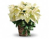 White Poinsettia in Westport CT, Old Greenwich Flower Shop