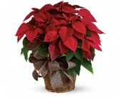 Houston Flowers - Large Red Poinsettia - Wildflower Florist