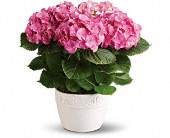 Happy Hydrangea - Pink in San Bruno CA, San Bruno Flower Fashions