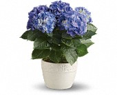 Happy Hydrangea - Blue in Mount Morris MI, June's Floral Company & Fruit Bouquets