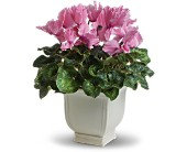 Sunny Cyclamen in Carol Stream IL, Fresh & Silk Flowers