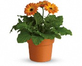 Rainbow Rays Potted Gerbera - Orange in Wallaceburg ON, Westbrook's Flower Shoppe