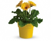 Rainbow Rays Potted Gerbera - Yellow in Agawam MA, Agawam Flower Shop