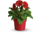 Rainbow Rays Potted Gerbera - Red in St. Clair Shores MI, DeRos Delicacies