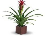 Teleflora's Bromeliad Beauty in Kelowna BC, Burnetts Florist & Gifts