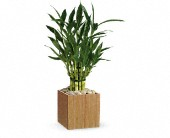 Teleflora's Good Luck Bamboo in Erie PA, Allburn Florist