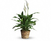 Simply Elegant Spathiphyllum - Small in Raleigh NC, Gingerbread House Florist - Raleigh NC