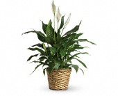 Simply Elegant Spathiphyllum - Medium in Kenosha WI, Strobbe's Flower Cart