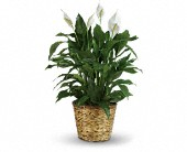 Simply Elegant Spathiphyllum - Large in Warsaw KY, Ribbons & Roses Flowers & Gifts