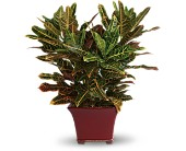 Stately Croton in Nationwide MI, Wesley Berry Florist, Inc.