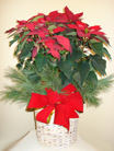 Red Pointsettia in Naples FL, Gene's 5th Ave Florist