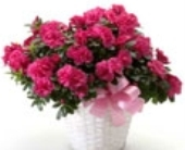 Blooming Azalea Plant in Big Rapids, Cadillac, Reed City and Canadian Lakes MI, Patterson's Flowers, Inc.