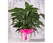 Spath (Peace Lily) in Winter Park FL, Apple Blossom Florist