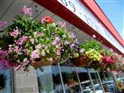 Beautiful XL Hanging Baskets in Belleville ON, Live, Love and Laugh Flowers, Antiques and Gifts