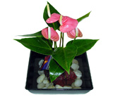 Hawaiian Volcano Pink Anthurium in Baltimore MD, Raimondi's Flowers & Fruit Baskets