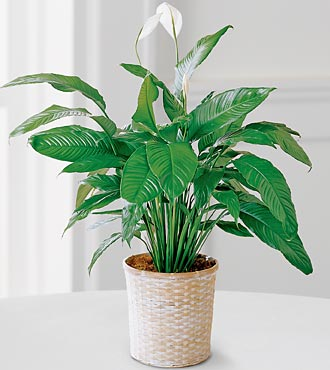The FTD� Peace Lily Plant in Highlands Ranch CO, TD Florist Designs