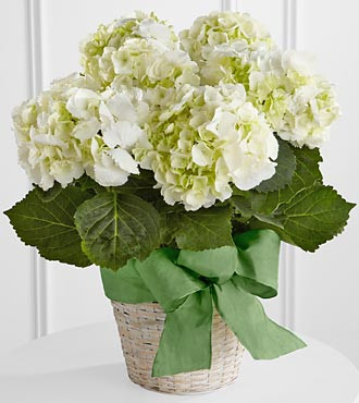 The FTD� White Hydrangea Planter in Highlands Ranch CO, TD Florist Designs