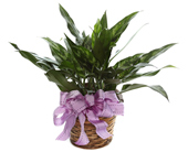Small Chinese Evergreen in Basket in McLean VA, MyFlorist
