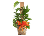 Small Golden Pothos in Basket in McLean VA, MyFlorist