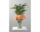 Peace lily with roses in San Antonio, Texas, Blooming Creations Florist