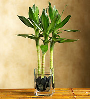 Lucky Bamboo in Woodbridge VA, Lake Ridge Florist