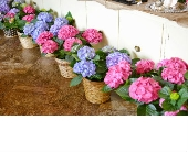 Hydrangea in Nashville TN, Emma's Flowers & Gifts, Inc.