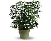 Schefflera Plant in Dallas TX, In Bloom Flowers, Gifts and More