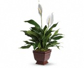 Teleflora's Lovely One Spathiphyllum Plant in Rush, New York, Chase's Greenhouse