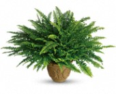 Teleflora's Heartwarming Thoughts Boston Fern in St. Clair Shores MI, DeRos Delicacies