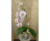 Orchids in Nashville TN, Emma's Flowers & Gifts, Inc.