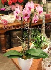 Phaleanopsis 'Butterfly' Orchid Plant in Etobicoke, Ontario, VANDERFLEET Flowers