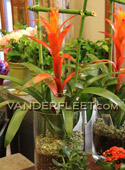 Bromeliad Guzmania Plant - Easy Care in Etobicoke ON, VANDERFLEET Flowers