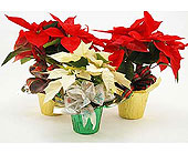 Poinsettia-Trio-Red-and-White in San Clemente CA, Beach City Florist