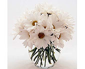 White-Daisies in San Clemente CA, Beach City Florist