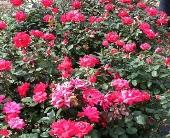 Knockout Rose Bush in Springfield, Missouri, Jerome H. Schaffitzel Greenhouse