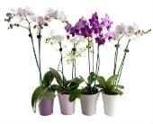Phalaenopsis Orchid in Manotick, Ontario, Manotick Florists