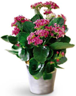 Pink Kalanchoe in Nationwide MI, Wesley Berry Florist, Inc.