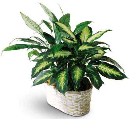Spathiphyllum and Dieffenbachia in Nationwide MI, Wesley Berry Florist, Inc.