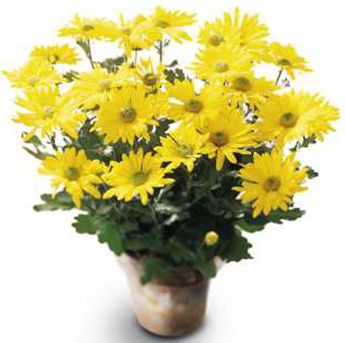 Daisy Chrysanthemum in Nationwide MI, Wesley Berry Florist, Inc.