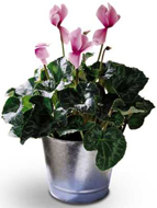 Pink Cyclamen in Nationwide MI, Wesley Berry Florist, Inc.