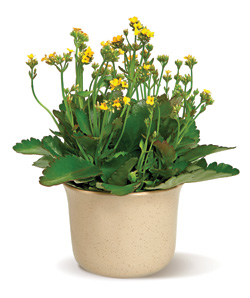 Charming Kalanchoe in Nationwide MI, Wesley Berry Florist, Inc.