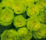 Green 1dz Long Stem Roses in Etobicoke ON, VANDERFLEET Flowers