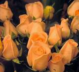 Peach Osiana 1dz Long Stem Roses in Etobicoke ON, VANDERFLEET Flowers