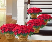 1 800 Flowers-Poinsettias Packages in Woodbridge VA, Lake Ridge Florist