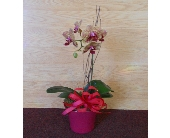 Small Orchids in Nashville TN, Emma's Flowers & Gifts, Inc.