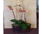 Multiple Orchid Plants  in Nashville TN, Emma's Flowers & Gifts, Inc.