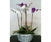 Phaleanopsis Orchid Planter in Naples, Florida, Driftwood Garden Center & Florist