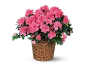 Azalea Potted Blooming Plant in Nashville TN, Emma's Flowers & Gifts, Inc.