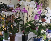 Orchids in Manlius NY, The Wild Orchid Of Manlius